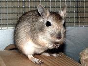 продам в Вологде мышек-песчанок